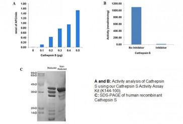 Human CellExp™ Cathepsin S, human recombinant
