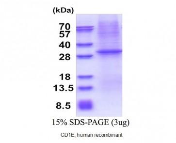 CD1E, human recombinant