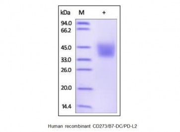 Human CellExp™ CD273 / B7-DC / PD-L2, human recombinant