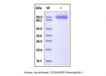 Human CellExp™ CD304 / NRP1 / Neurophilin-1, human recombinant