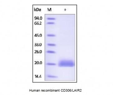 Human CellExp™ CD306 / LAIR2, human recombinant