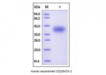 Human CellExp™ CD200/OX-2, human recombinant
