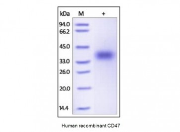 Human CellExp™ CD47, human recombinant