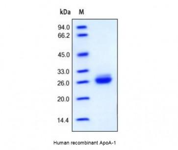 Human CellExp™ ApoA-1, human recombinant