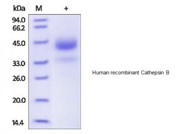 Human CellExp™ Cathepsin B, human recombinant