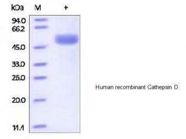 Human CellExp™ Cathepsin D, human recombinant
