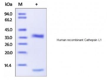 Human CellExp™ Cathepsin L1, human recombinant