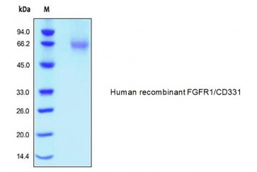 Human CellExp™ FGFR1/CD331, human recombinant