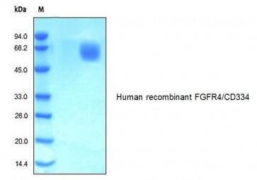 Human CellExp™ FGFR4/CD334, human recombinant