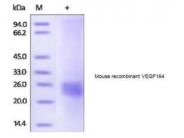 Human CellExp™ VEGF164, mouse recombinant