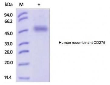 Human CellExp™ ICOSLG /B7-H2 /CD275, human recombinant