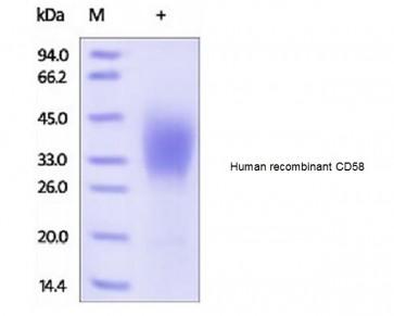 Human CellExp™ CD58 /LFA-3, human recombinant