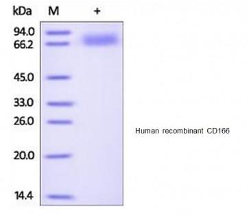Human CellExp™ CD166/ ALCAM, human recombinant