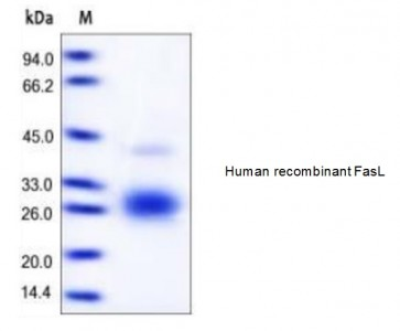 Human CellExp™ Fas Ligand/FasL, human recombinant