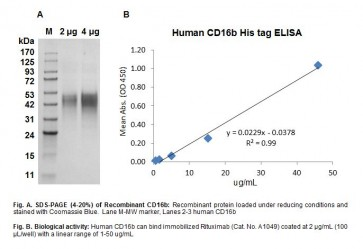 Human CellExp™ Fc gamma RIIIB /CD16b, human recombinant