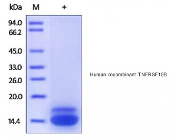 Human CellExp™ TNFRSF10B /TRAILR2, human recombinant