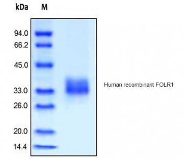 Human CellExp™ FOLR1, human recombinant