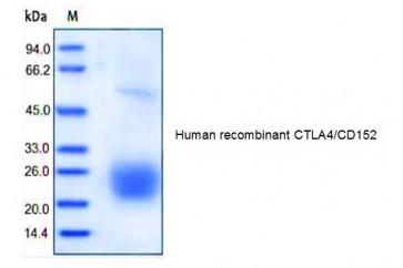 Human CellExp™ CTLA4/CD152, human recombinant