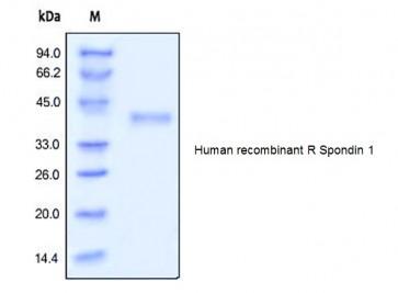 Human CellExp™ R spondin-1, human recombinant