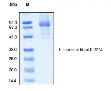 Human CellExp™ IL13RA2/CD213, human recombinant