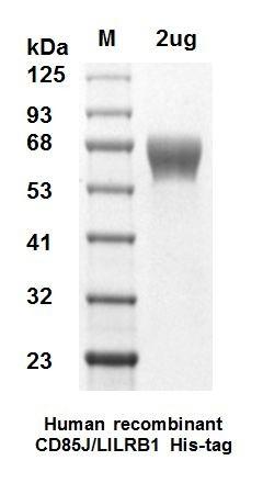 Human CellExp™ CD85J/LILRB1, human recombinant