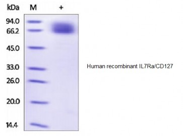 Human CellExp™ IL7Ra/CD127, human recombinant
