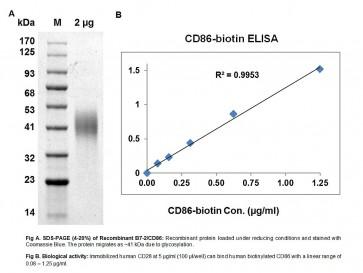 Human CellExp™ B7-2 /CD86, human recombinant