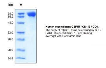 Human CellExp™ CSF1R / CD115 / CD6, human recombinant