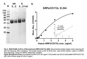 Human CellExp™ CD172a/ SIRP alpha, Extracellular Domain (ED), Human Recombinant