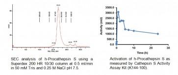 Procathepsin S, human recombinant