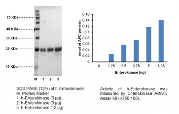 Enterokinase, Light Chain, human recombinant