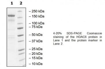 HDAC6, human recombinant