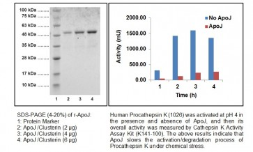 ApoJ/Clusterin, human recombinant