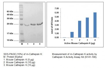 Cathepsin K, Active, mouse recombinant