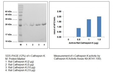 Cathepsin K, Active, rat recombinant