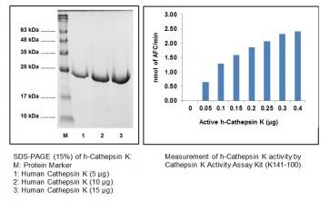 Cathepsin K, Active, human recombinant