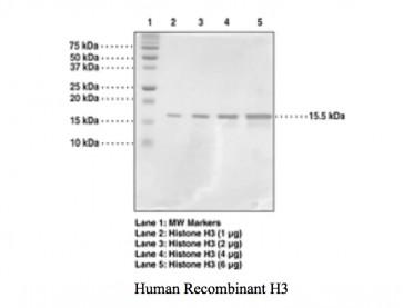 Histone H3 (1-136 aa), Human recombinant