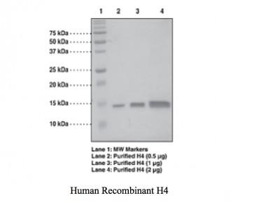 Histone H4 (1-103 aa), Human recombinant