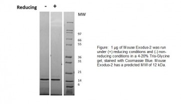Exodus-2, Mouse Recombinant