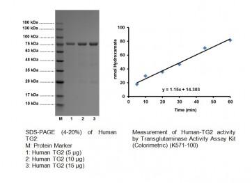Active Transglutaminase 2 (His-tagged), human recombinant