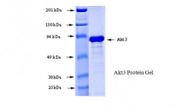 Akt3, Active