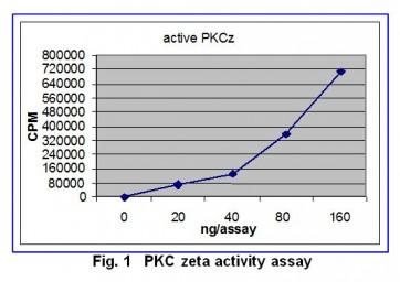 PKCzeta, Active