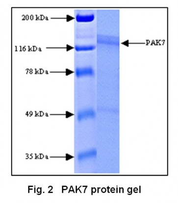 PAK7, Active