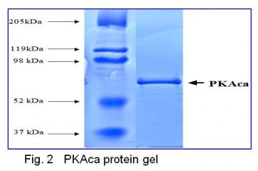 PKAca, Active