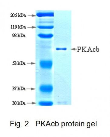 PKAcb, Active