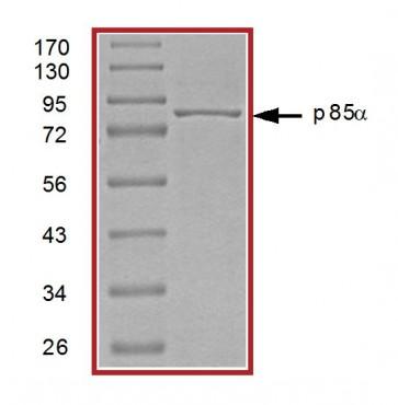 PI3K (p85⍺) Protein