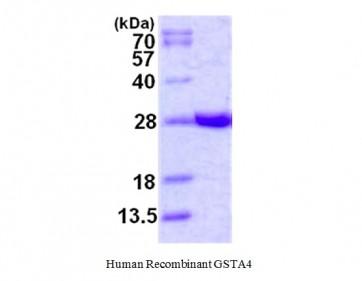 GSTA4, human recombinant