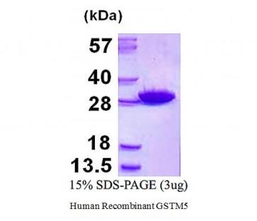 GSTM5, human recombinant