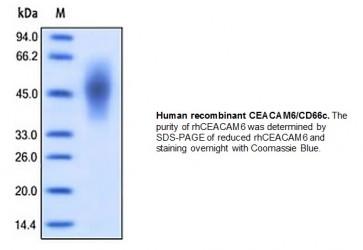 Human CellExp™CEACAM6/CD66c, human recombinant
