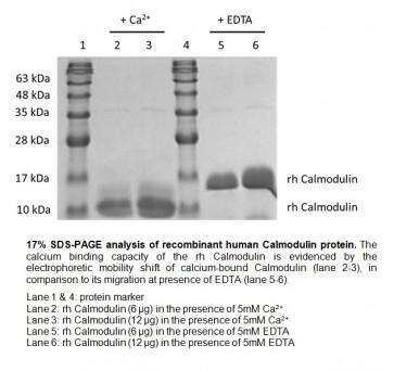Calmodulin, human recombinant
